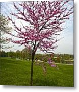 Redbud Tree Metal Print by John Holloway