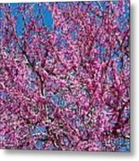 Redbud Tree With Dense Blossoms Metal Print