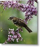 Redbud With Grosbeak Metal Print