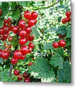 Redcurrant Berries Metal Print