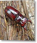 Reddish-brown Stag Beetle - Lucanus Capreolus Metal Print