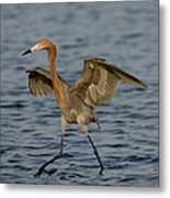 Reddish Egret Doing Fishing Dance Metal Print