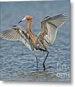 Reddish Egret Fishing Metal Print