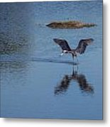 Reddish Egret Looking For Lunch Metal Print