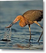 Reddish Egret Strike Metal Print