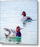 Redhead Ducks Metal Print