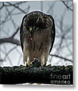 Redtail Hawk And Mouse Metal Print