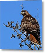 Red-tailed Hawk Metal Print