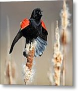 Redwing Blackbird Displaying Metal Print