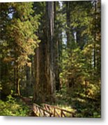 Redwood Forest On A Perfect Spring Day Metal Print