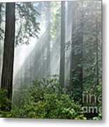 Redwood Forest With Sunbeams Metal Print