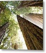 Redwood Heaven Metal Print