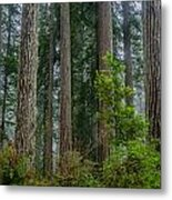 Redwood Lineup Metal Print