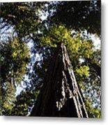 Redwood Reach II Metal Print