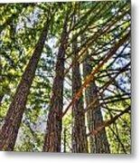 Redwoods 3 Big Basin Metal Print