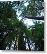 Redwoods II Metal Print