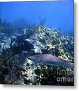Reef Shark Metal Print