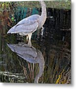Reflecting Great Blue Heron Metal Print