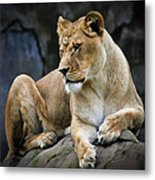 Reflections Of A Lioness Metal Print