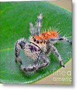 Regal Jumping Spider Metal Print