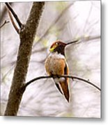 Regal Rufous Hummingbird Sitting Metal Print