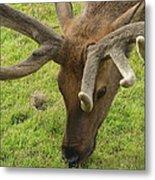 Reindeer Head Metal Print