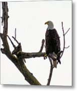 Relaxed Eagle Metal Print