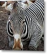Relaxing Zebra Metal Print