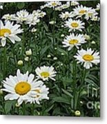 Requested Daisies Metal Print