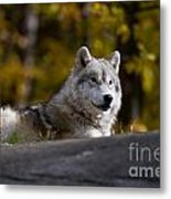 Resting Arctic Wolf On Rocks Metal Print