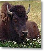 Resting Bison Metal Print