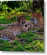 Resting Cheetahs Metal Print