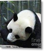 Resting Giant Panda Bear Metal Print