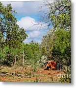 Resting Longhorn Bull - San Marcos Texas Hill Country Metal Print