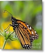Resting Monarch Butterfly Metal Print