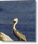 Resting Pelican Metal Print