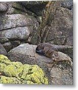 Resting Seal Metal Print