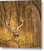 Resting White-tailed Deer Buck Metal Print