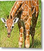 Reticulated Giraffe 6 Week Old Calf Metal Print