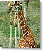 Reticulated Giraffe And Calf Metal Print