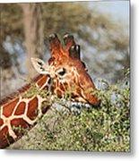 Reticulated Giraffe Browsing Acacia Kenya Metal Print