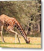 Reticulated Giraffe Drinking At Waterhole Kenya Metal Print