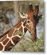 Reticulated Giraffe Feeding On Acacia Metal Print