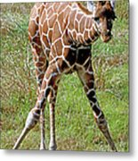 Reticulated Giraffe Metal Print