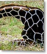 Reticulated Giraffe On Ground Metal Print