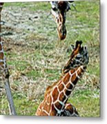 Reticulated Giraffe With Calf Metal Print