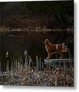 Retriever Focus Metal Print