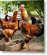 Rhode Island Red Chickens And Wooden Feeder  Metal Print