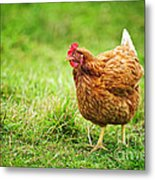 Rhode Island Red Chicken Metal Print