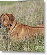 Rhodesian Ridgeback Dog Metal Print